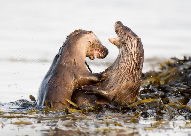 Otter fight By Josh Jaggard