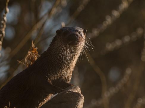 Otter pose By Josh Jaggard
