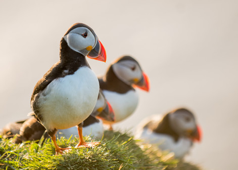 Puffin trio by Josh Jaggard