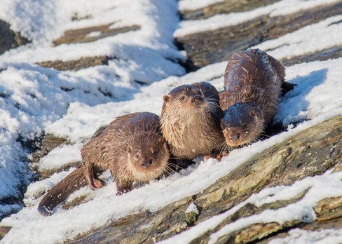 Otter family in snow By Josh Jaggard