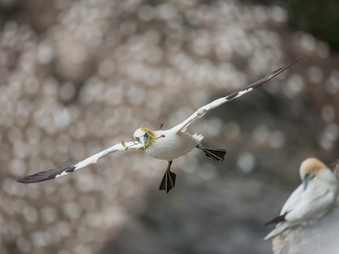 Gannet flying with nesting material By Josh Jaggard