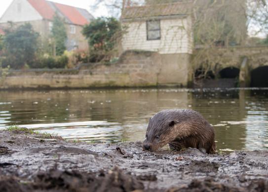 Otter below the urban mill By Josh Jaggard