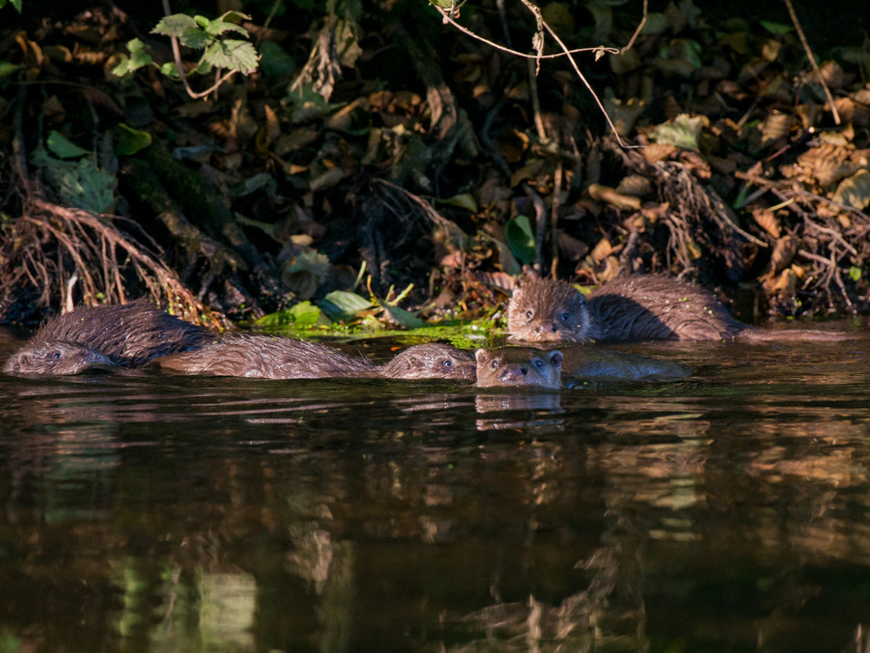 Family of otters By Josh Jaggard