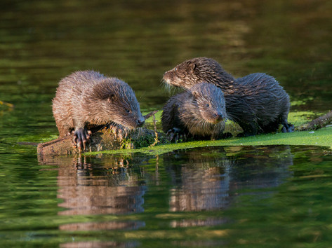 Three Otter Cubs by Josh Jaggard