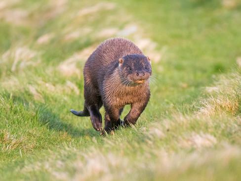 Otter running By Josh Jaggard