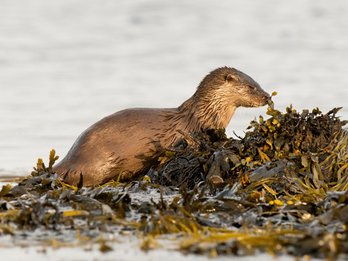 Otter sniffing By Josh Jaggard