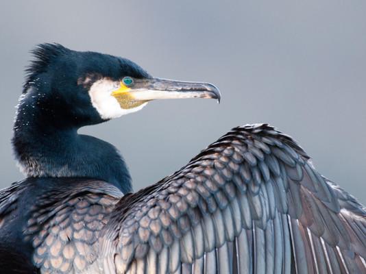Cormorant By Josh Jaggard
