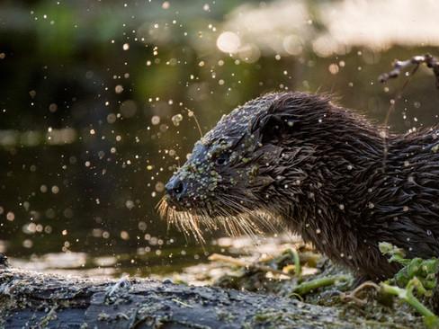 Backlit otter Shake By Josh Jaggard