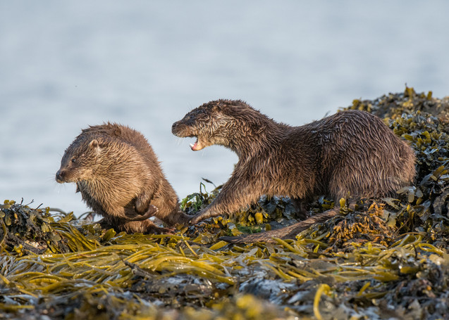Cubs fighting By Josh Jaggard