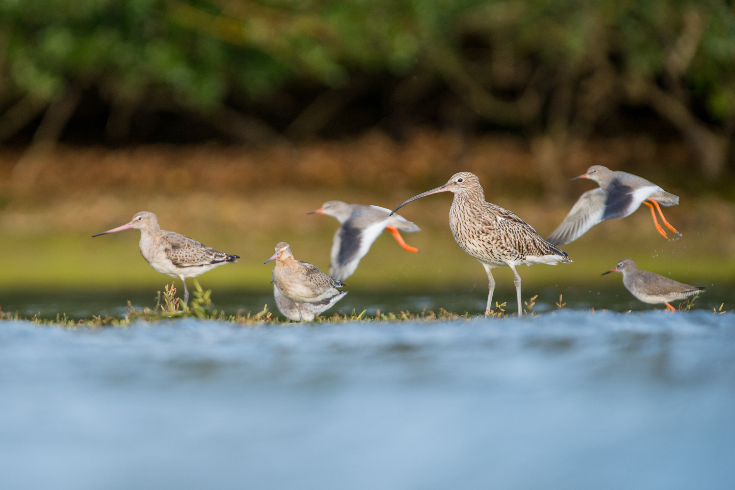 Curlew, godwit, redshanks from Josh Jaggard floating hide