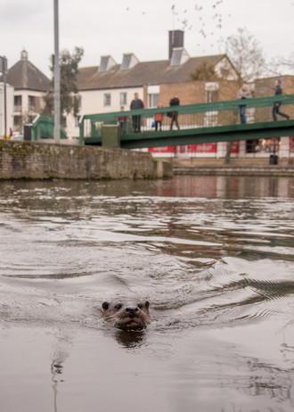 Urban otter By Josh Jaggard