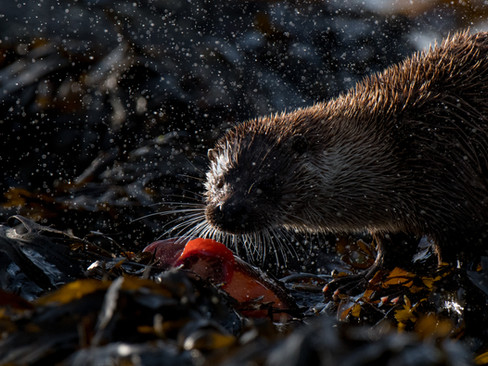 Otter with a lumpsucker By Josh Jaggard