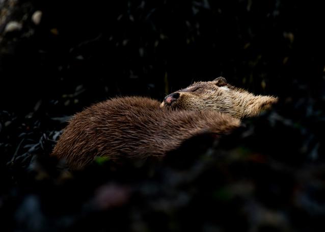 Otter family sleeping By Josh Jaggard
