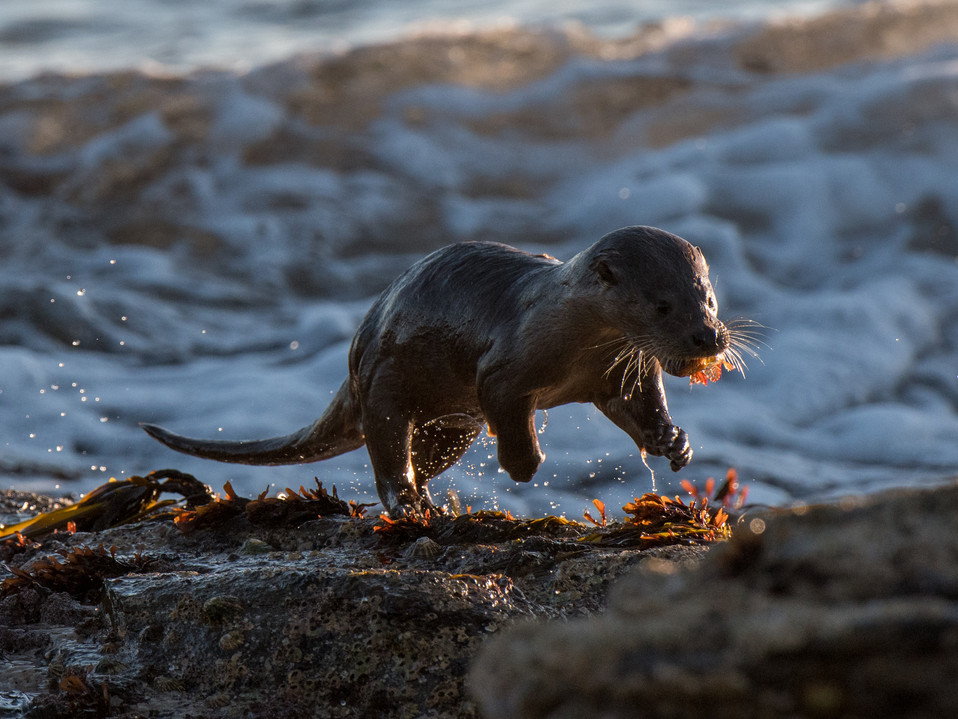 Otter with a Scorpian fish By Josh Jaggard