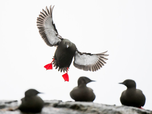 Black Guillemot in flight By Josh Jaggard