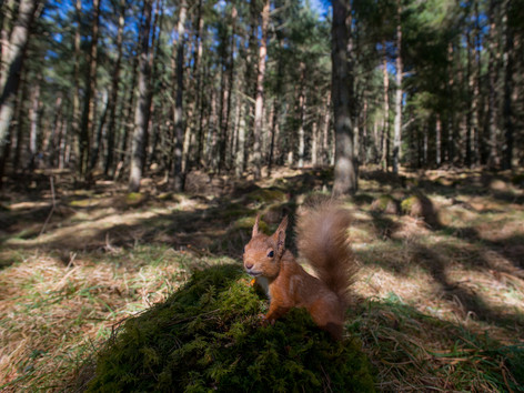 Red squirrel wide angle By Josh Jaggard