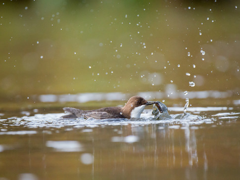 Dipper with a caddisfly By Josh Jaggard