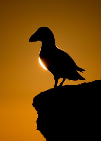 Puffin eclipse by Josh Jaggard