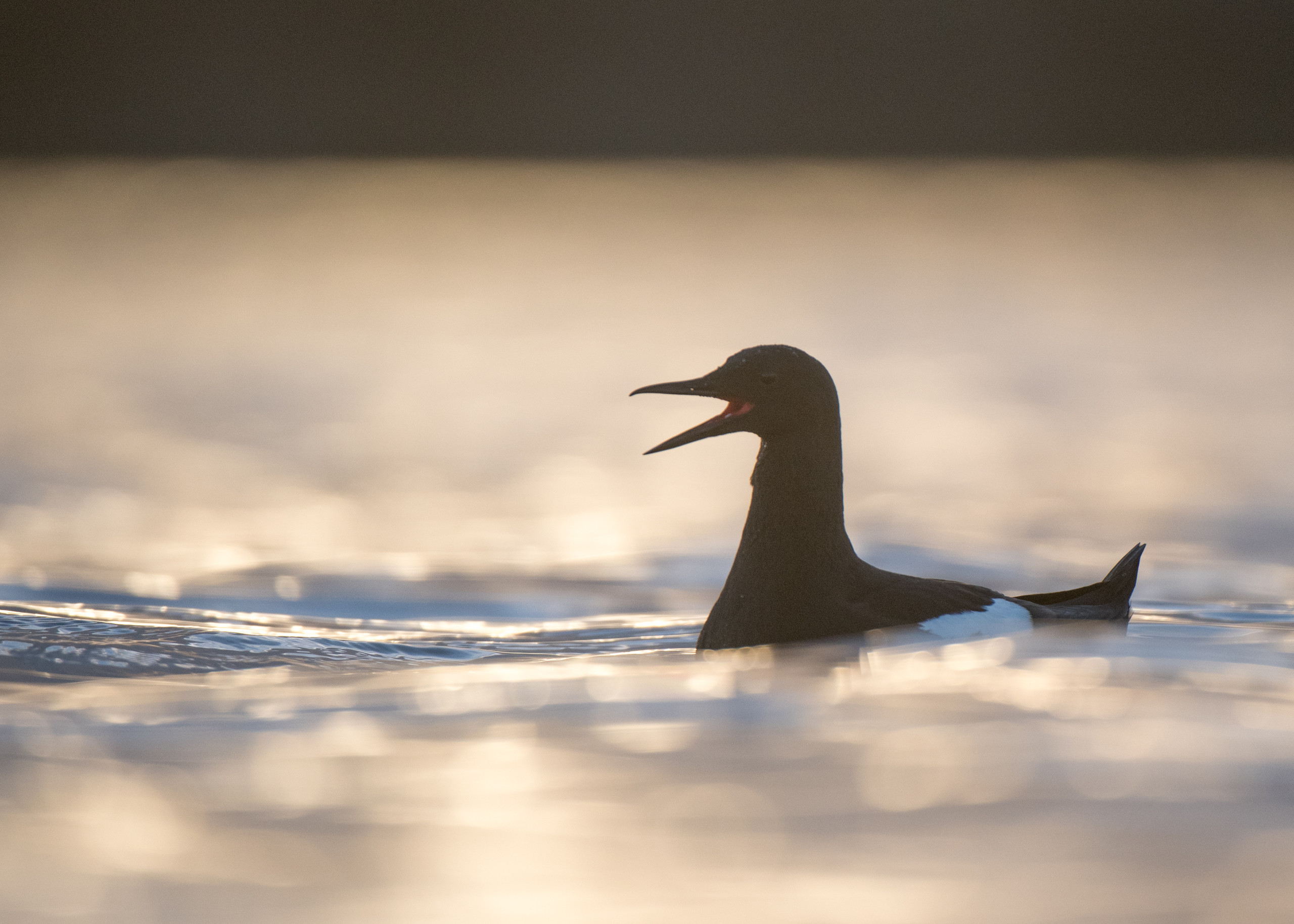 Black Guillemot from Josh Jaggard floating hide
