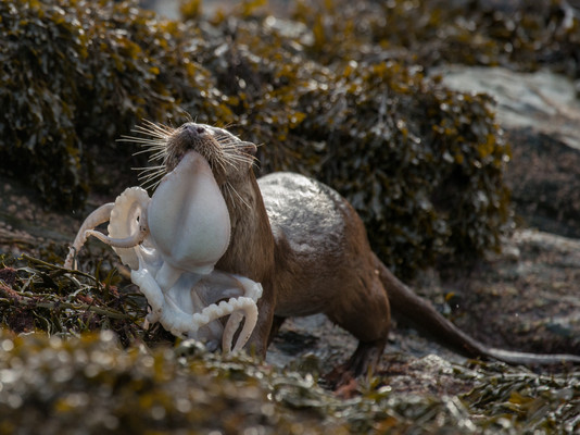 Otter carrying an octopus By Josh Jaggard