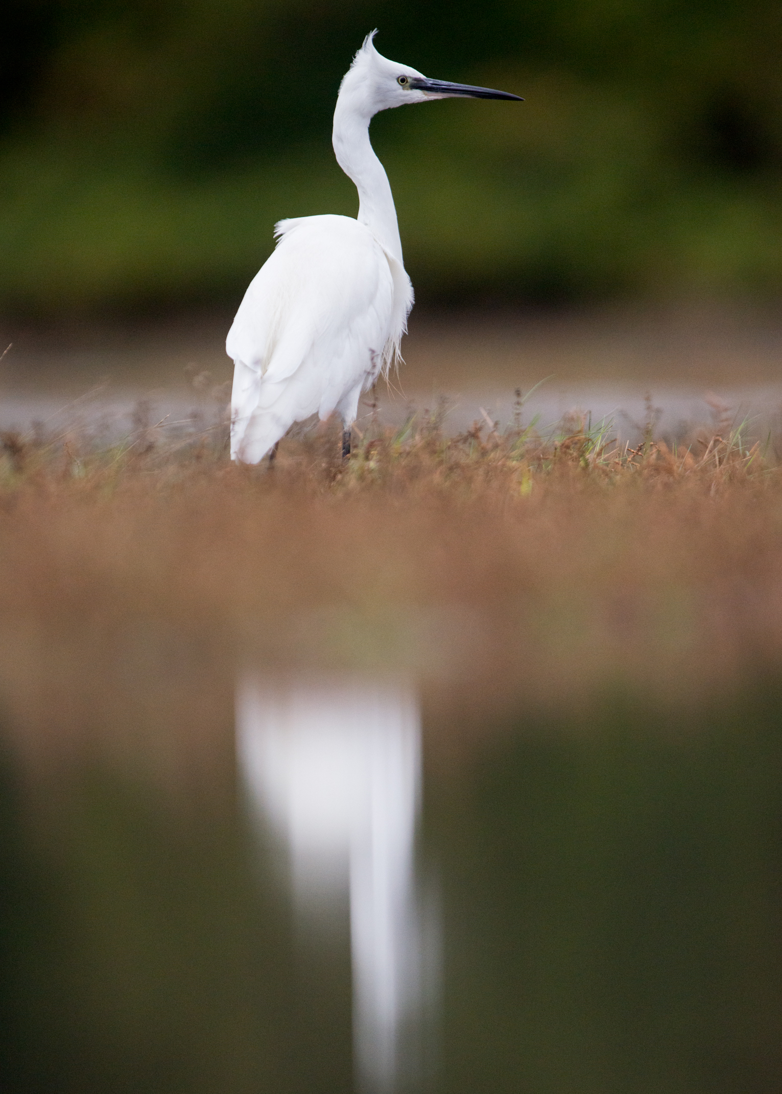 Little egret from Josh Jaggard floating hide