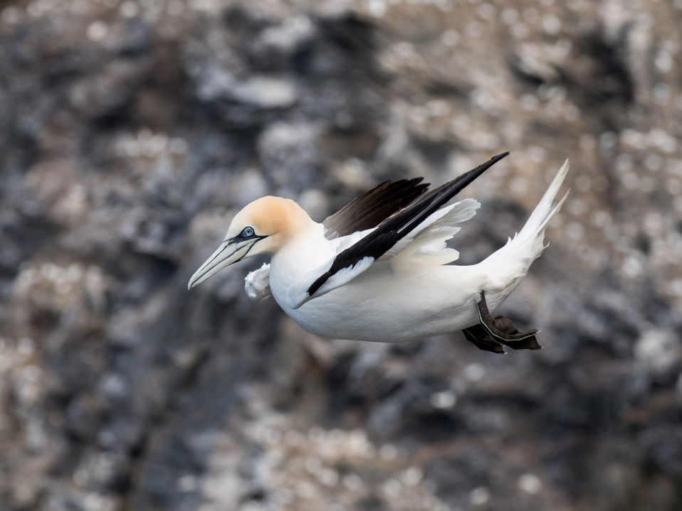 Gannet hover By Josh Jaggard