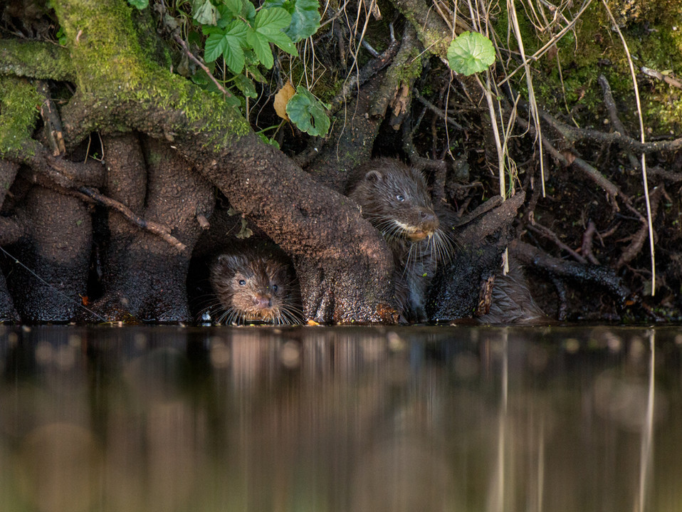 Peek a boo otter cubs By Josh Jaggard