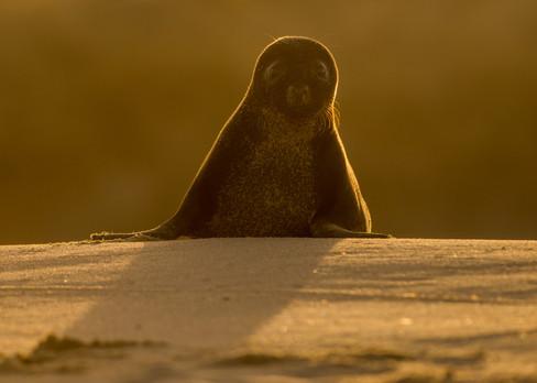 Backlit black seal by Josh Jaggard