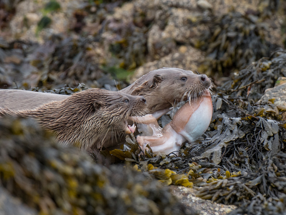 Otters with an octopus By Josh Jaggard
