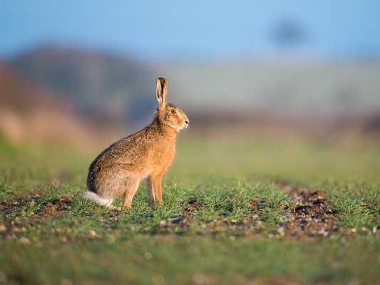 Brown Hare by Josh Jaggard