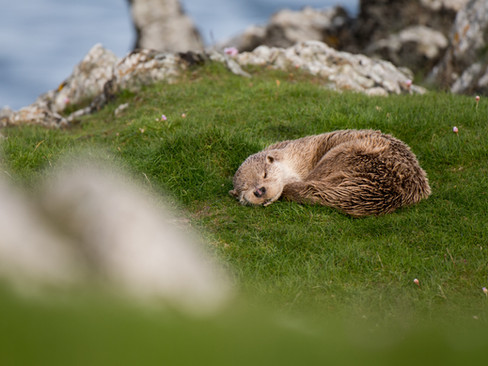Otter sleeping By Josh Jaggard
