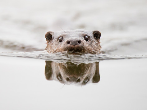 Otter reflection by Josh Jaggard