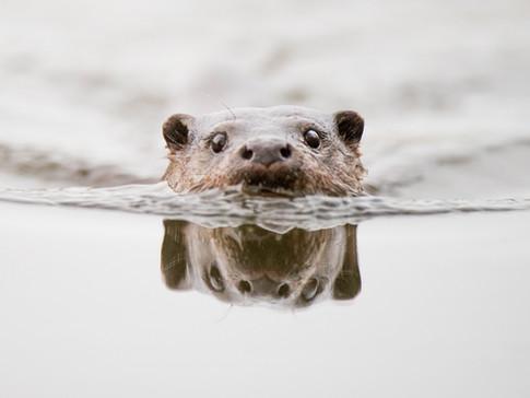 Otter reflection by Josh Jaggard