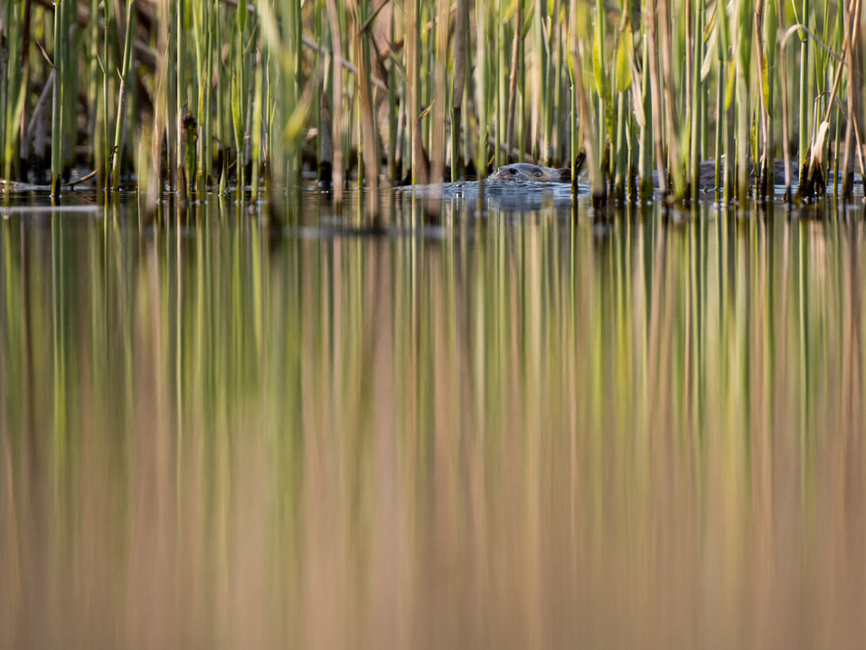 Otter camouflage By Josh Jaggard