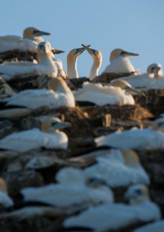 Gannet courtship By Josh Jaggard