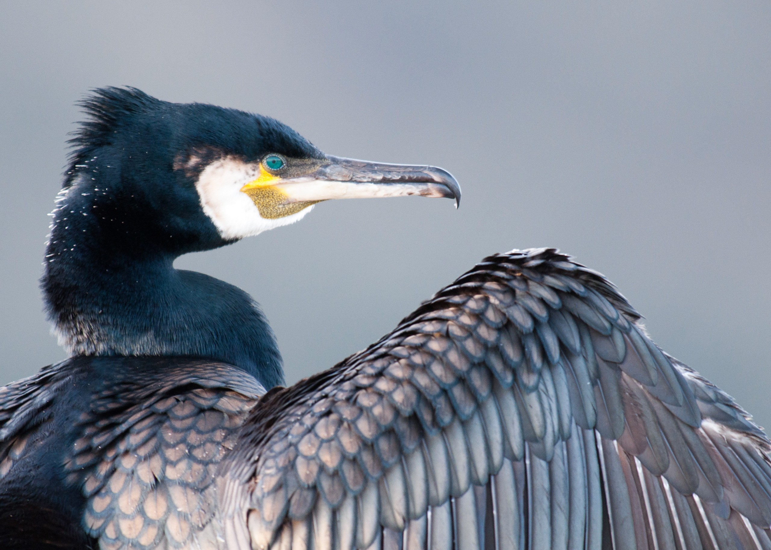 Cormorant from Josh Jaggard floating hide
