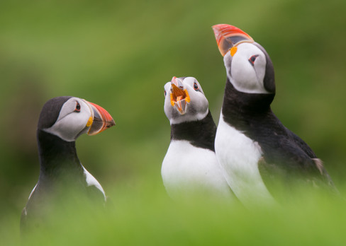 Puffin Chat By Josh Jaggard