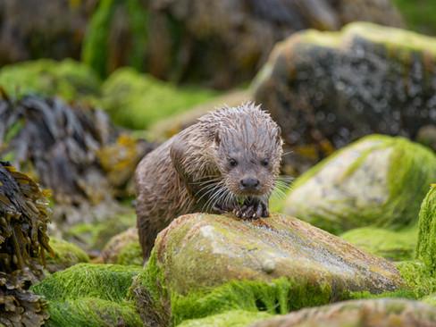 Algae otter By Josh Jaggard