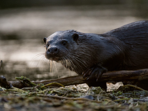 Morning otter By Josh Jaggard