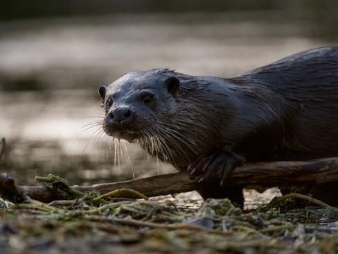 Morning otter By Josh Jaggard