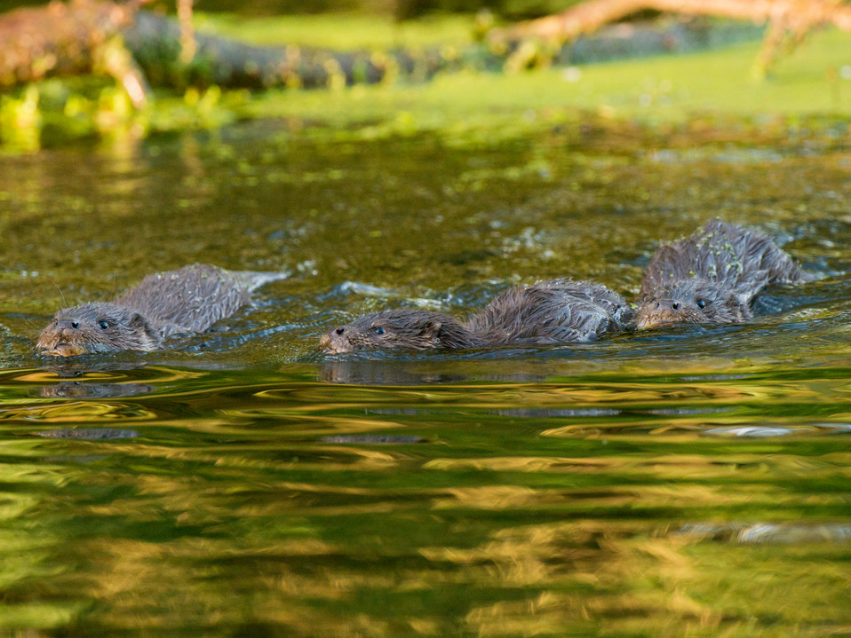 Trio of autumn otter cubs By Josh Jaggard