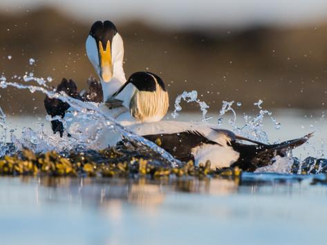 Male Eider Duck fight By Josh Jaggard