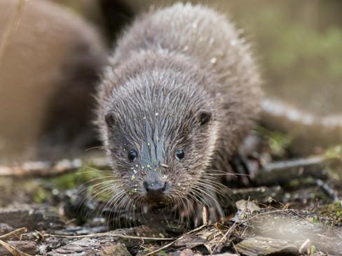 Otter cub By Josh Jaggard