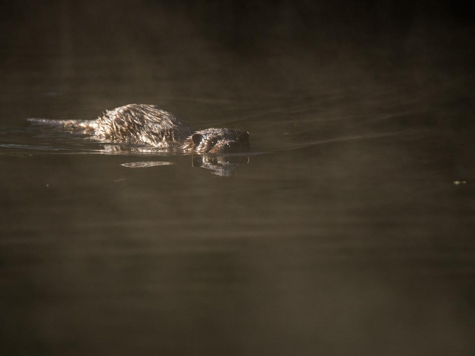 Misty otter cub By Josh Jaggard