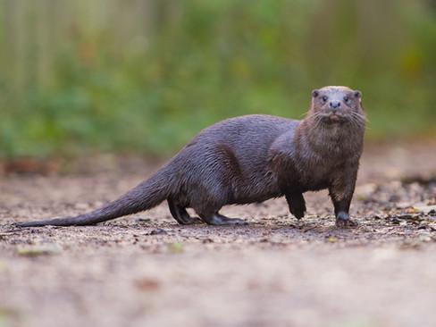 Otter portrait By Josh Jaggard