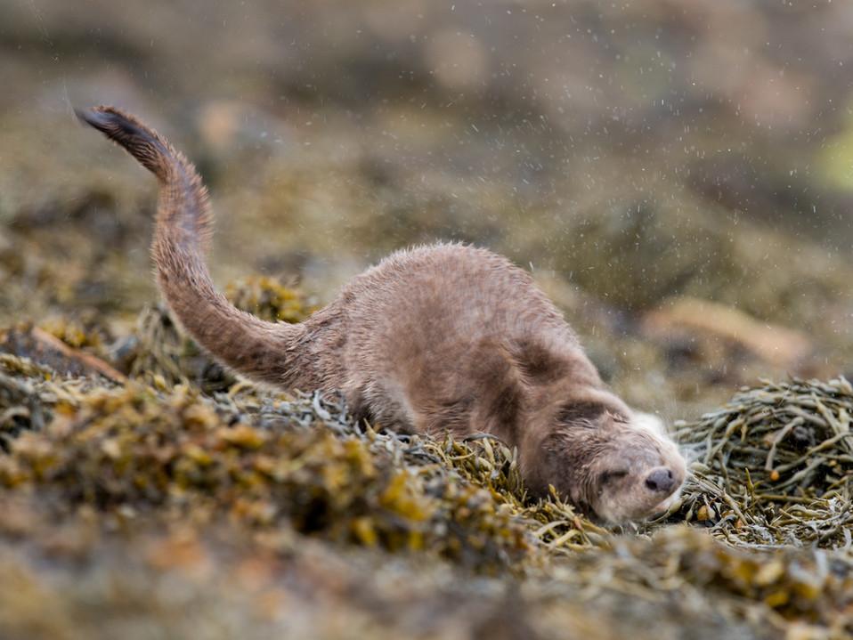 Otter shake By Josh Jaggard