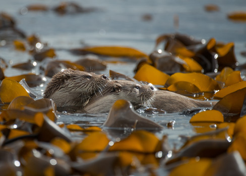 Mum and cub otter amougst the kelp By Josh Jaggard