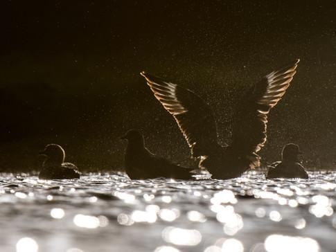 Bonxie wings By Josh Jaggard