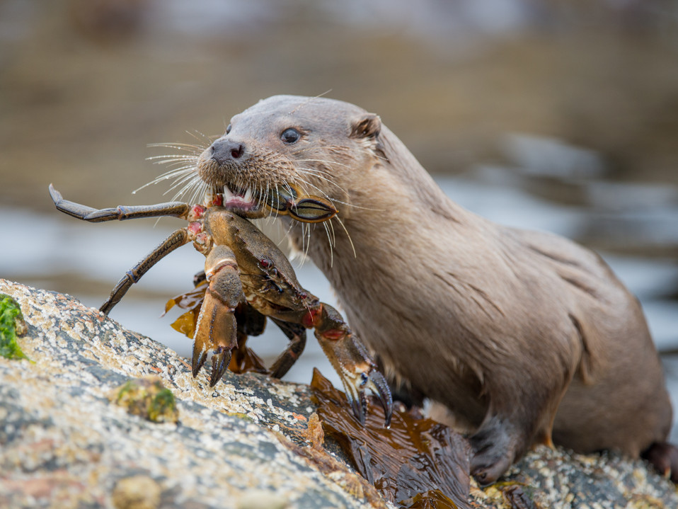Velvet swimming crab being carried by an otter. By Josh Jaggard