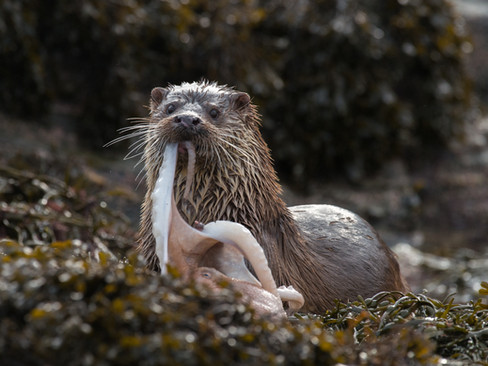 Otter chewing an octopus By Josh Jaggard